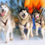 Катание на собачьих упряжках, Аляска