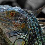 Современные драконы – игуана и вараны (20 фото)