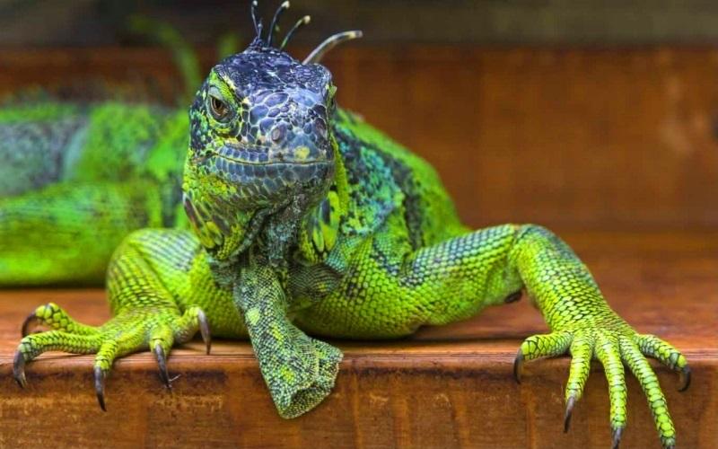 Современные драконы – игуана и вараны